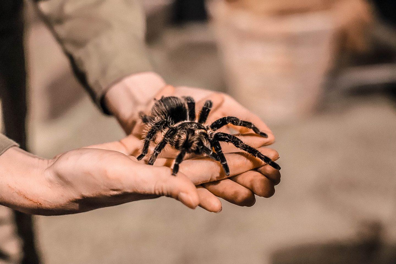 a tarantula in someone's hands